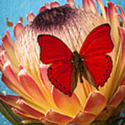 Red Butterfly On Protea Poster