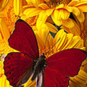 Red Butterfly On Yellow Gerbera Daisies  Poster