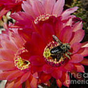 Red Cactus Flower With Bumble Bee Poster