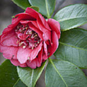 Red Camellia Squared Poster by Teresa Mucha