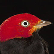 Red-capped Manakin Pipra Mentalis Male Poster