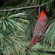 Red Cardinal In Green Pine Poster