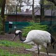 Red Crowned Crane Poster