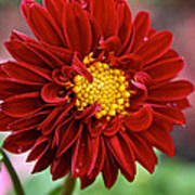 Red Dahlia Unfurled Poster