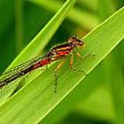Red Damsel Fly Poster