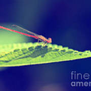 Red Damselfly Poster