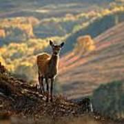 Red Deer Calf Poster