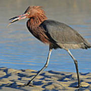 Red Egret With Fish Poster