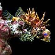 Red Eyed Scorpion Fish Poster