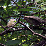 Red-eyed Vireo Feeding Cowbird Fledgling Poster