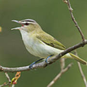Red-eyed Vireo Vireo Olivaceus Calling Poster