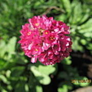 Red Flower Ball Poster