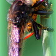 Red-footed Cannibal Fly With His Prey Poster by Maureen  McDonald