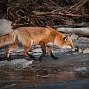 Red  Fox Crossing Poster