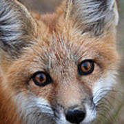 Red Fox 352 Poster