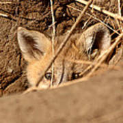 Red Fox Pup Peaking Out Of Den Poster