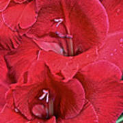 Red Gladiolus Poster by Susan Herber