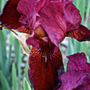 Red Iris Duo Poster