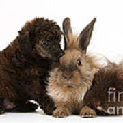 Red Merle Toy Poodle Pup, Guinea Pig Poster
