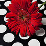 Red Mum With White Spots Poster
