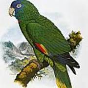 Red-necked Amazon Parrot Poster
