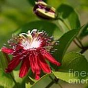Red Passion Flower Poster