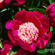 Red Peony Flowers Series 3 Poster