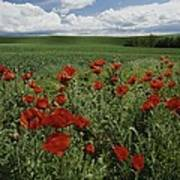 Red Poppies Edge A Field Near Moscow Poster