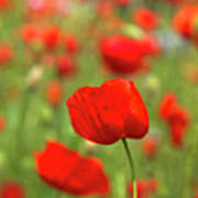 Red Poppies In Cornfield Poster