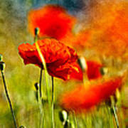 Red Poppy Flowers 01 Poster