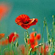 Red Poppy Flowers 06 Poster