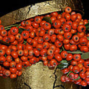 Red Pyracantha Berries Poster