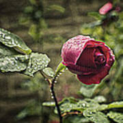 Red Rose In Water Drops Poster