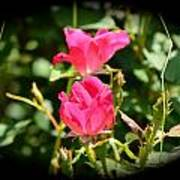 Red Rose Vignette Poster