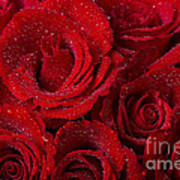Red Roses And Water Drops Poster
