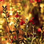 Red Salvia Poster