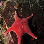 Red Sea Star And Limpet On Brown Rock Poster