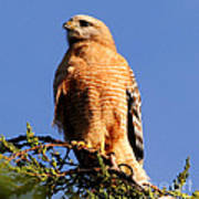 Pismo Beach Red Shoulder Hawk Poster