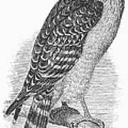 Red-shouldered Hawk, 1890 Poster