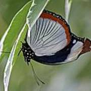 Red Spot Diadem Butterfly Poster