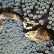 Red-spotted Porcelain Crab Hiding Poster