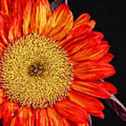 Red Sunflower II  Poster