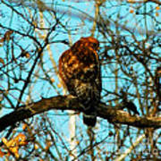Red Tail Hawk Visitor Poster