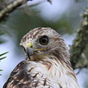 Red-tailed Hawk Has Superior Vision Poster