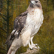 Red Tailed Hawk Perched On A Branch In The Woodlands Poster