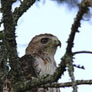 Red-tailed Hawk - Young And The Old Poster