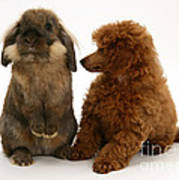 Red Toy Poodle Pup With A Lionhead Poster