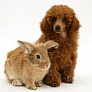 Red Toy Poodle Pup With Lionhead-cross Poster
