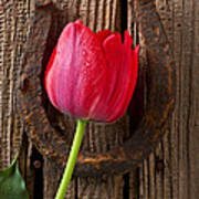 Red Tulip And Horseshoe  Poster