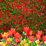 Red Tulip Flowers Poster